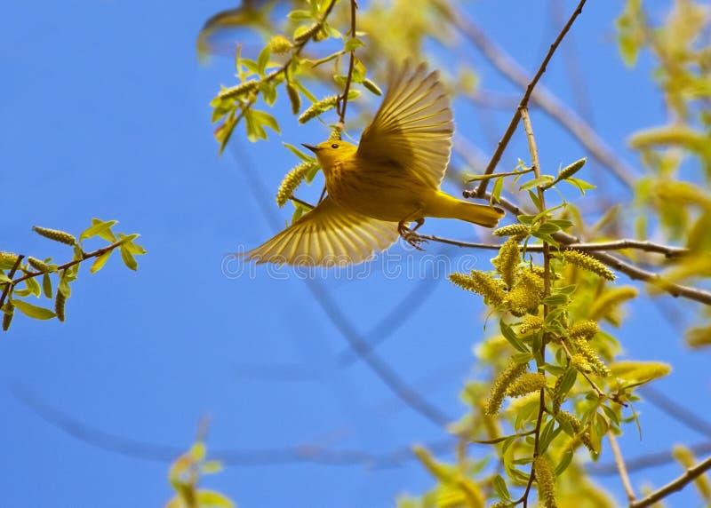 飞行鸣鸟黄色 免版税库存照片