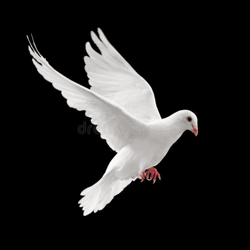 飞行鸽子 库存图片