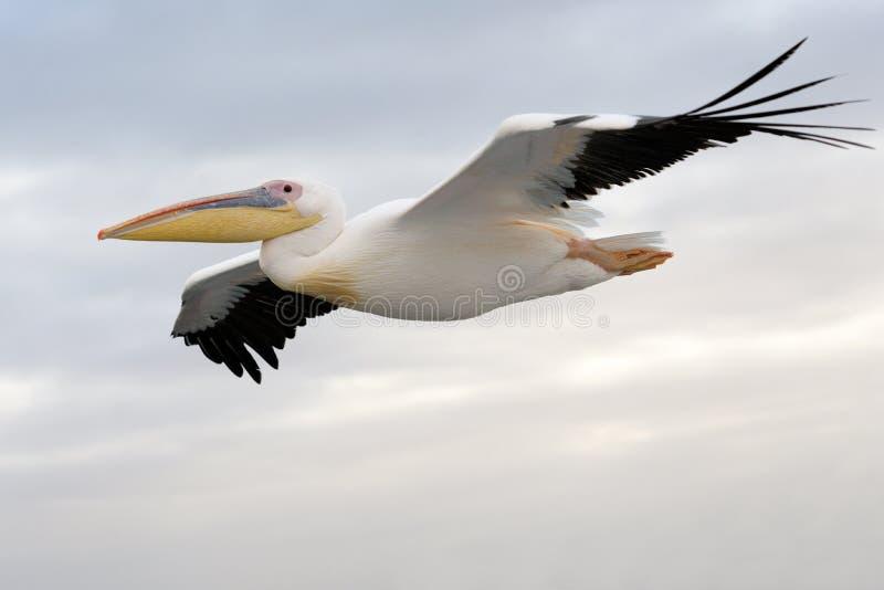 飞行鹈鹕 免版税库存图片