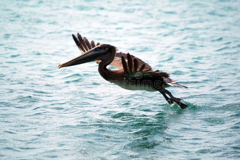 飞行鹈鹕 库存图片