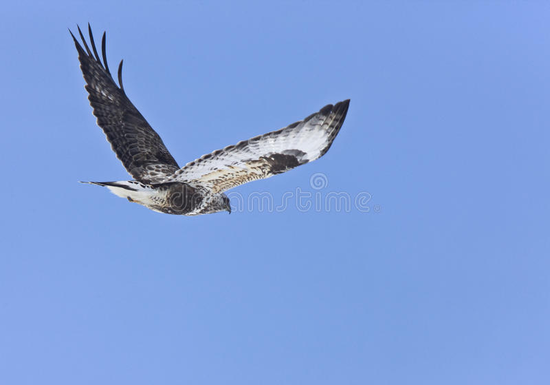 飞行鹰有腿粗砺 库存照片