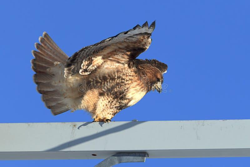飞行鹰红色被盯梢的作为 库存图片