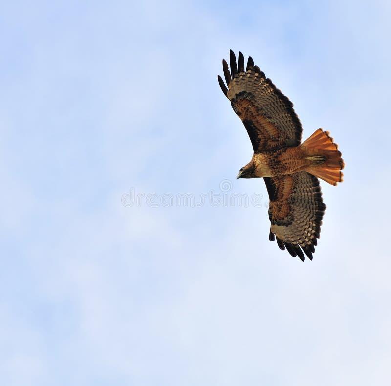 飞行鹰顶上的红尾鱼 免版税库存图片