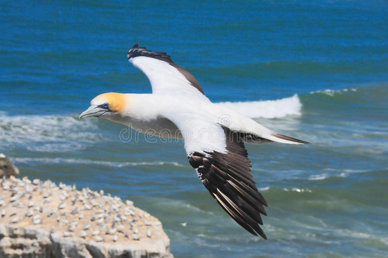 飞行gannet 库存照片