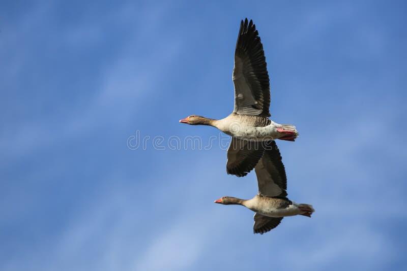 飞行Geeses 免版税库存图片