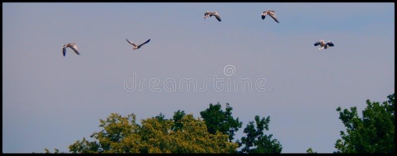 飞行Geeses 免版税库存照片