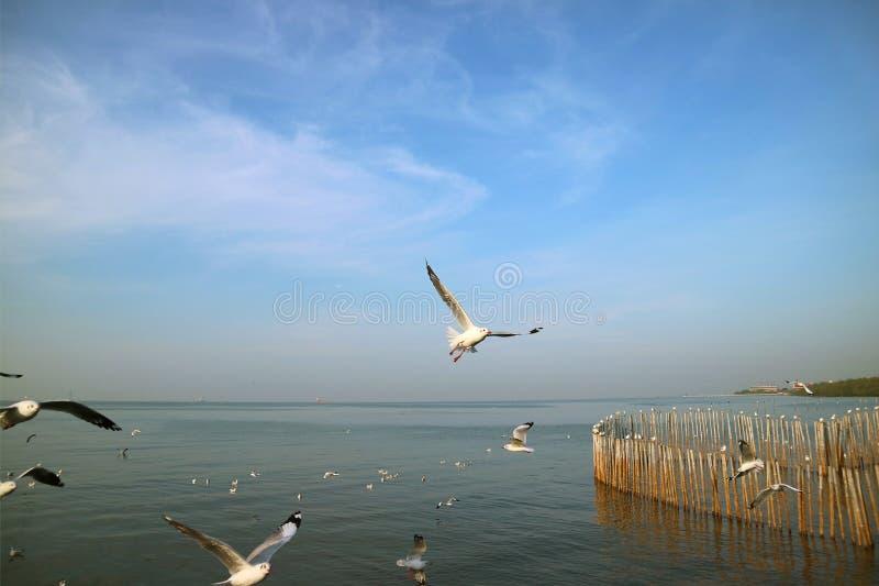 飞越海的许多海鸥为食物,轰隆Pu海滩,泰国寻找 图库摄影