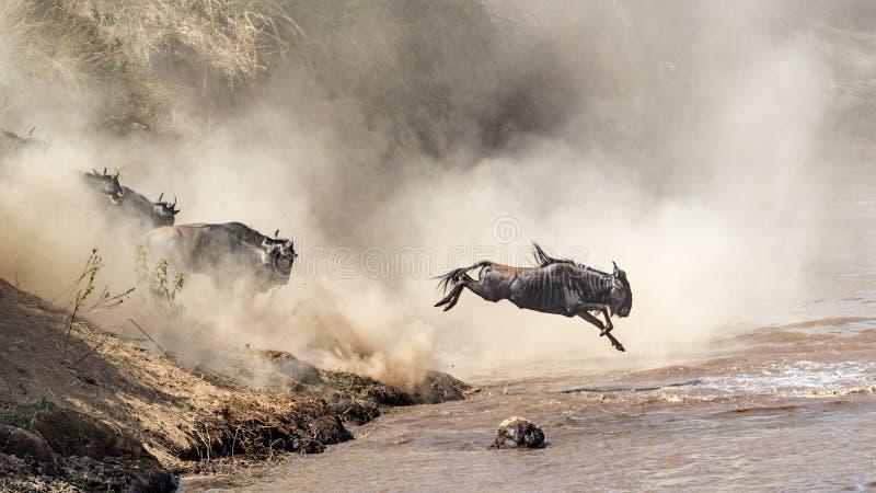 飞跃入玛拉河的角马 免版税库存图片