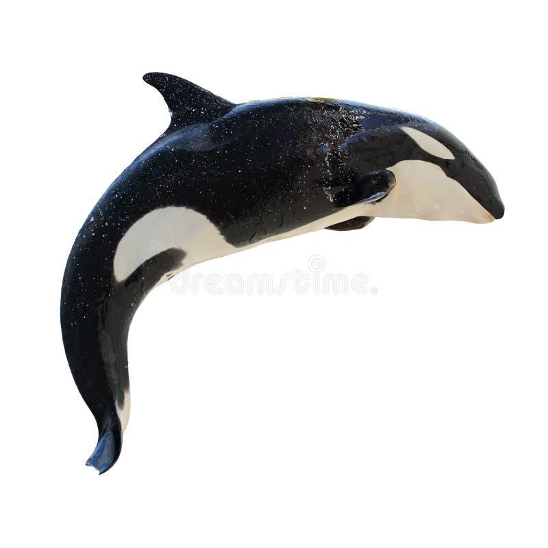 飞跃海怪orcinus的killerwhale 图库摄影