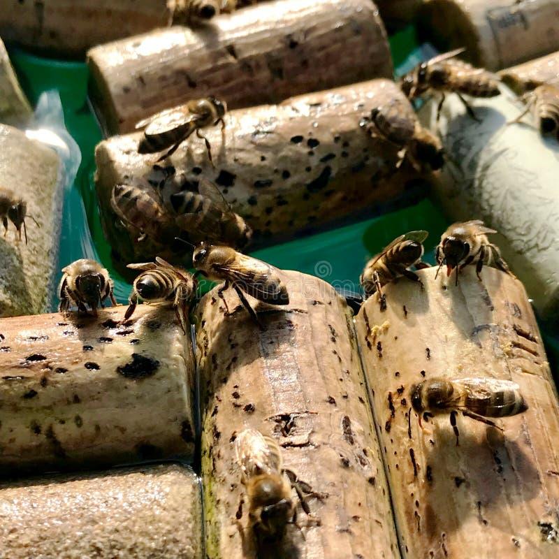 飞过的家养的蜜蜂飞行到饮水池 库存图片