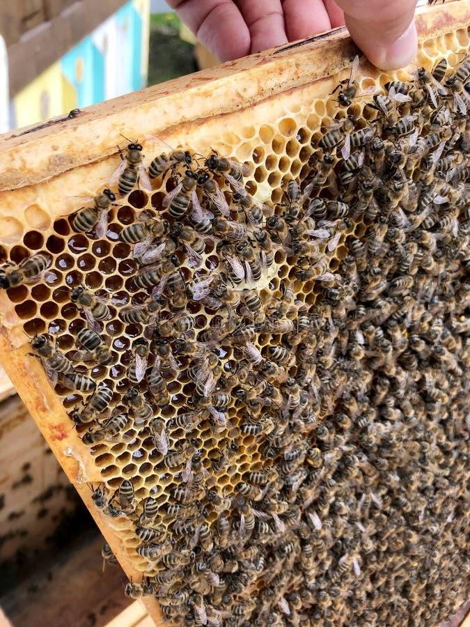 飞过的蜂慢慢地飞行到蜂窝收集蜂蜜的花蜜在私有蜂房 库存图片