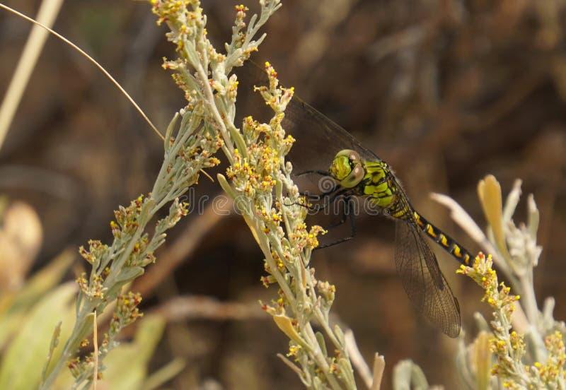 飞过的蜻蜓的五颜六色的绿色 免版税库存照片