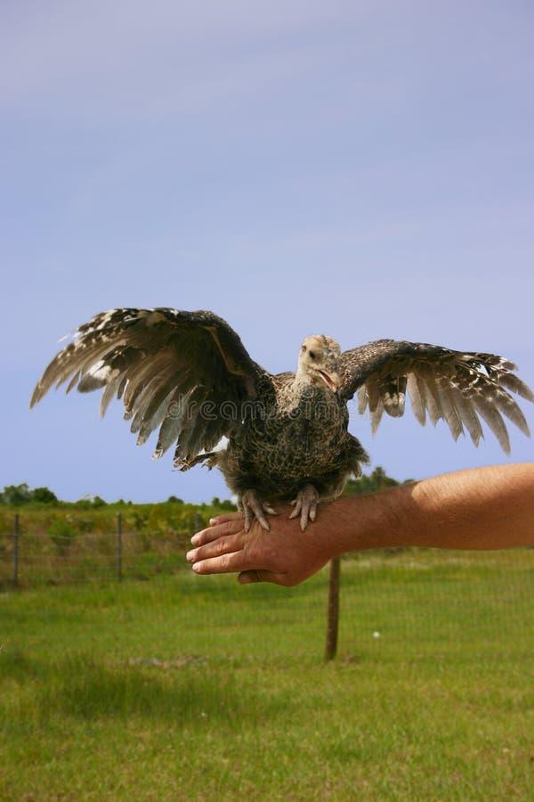 飞过的被开张的火鸡 免版税库存照片