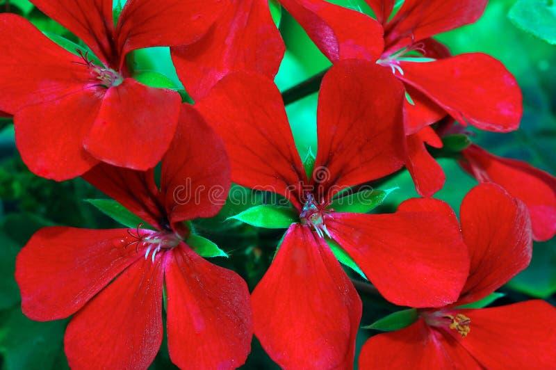飞雪黑暗的天竺葵红色 免版税库存图片