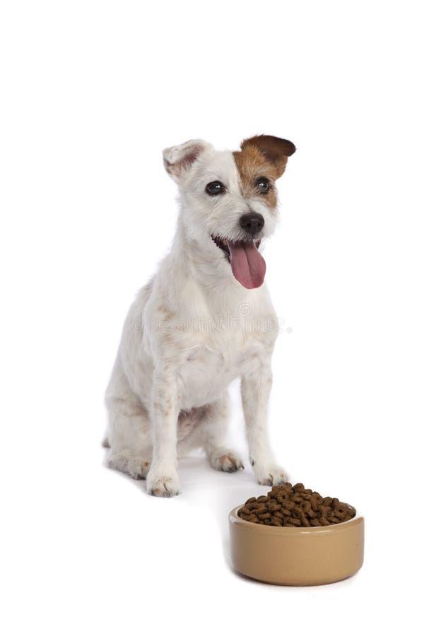食物插孔罗素狗等待 库存照片