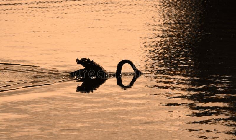 食物的现出轮廓的天鹅潜水 免版税库存图片