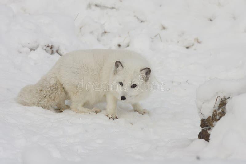 食物的白狐狩猎在与延长的爪的雪小山我 免版税库存照片