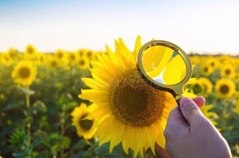 食物科学家检查向日葵化学制品和杀虫剂 庄稼质量 向日葵油和生物燃料 环境友好 免版税库存照片