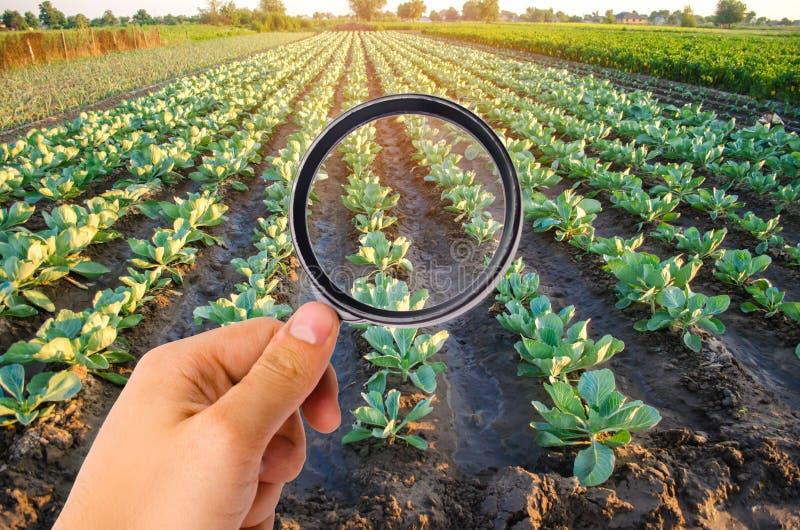 食物科学家检查圆白菜化学制品和杀虫剂 健康蔬菜 果树栽培学 种田 收获 农业 库存图片