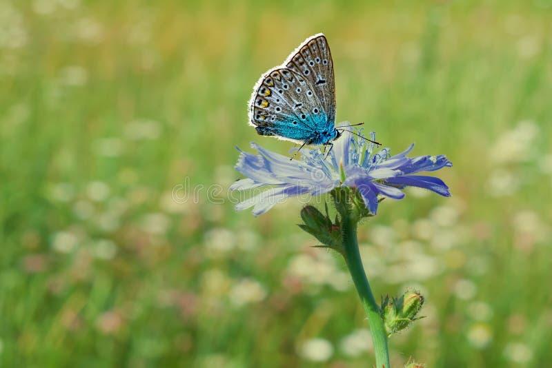 食物,在绿草中的药用植物苦苣生茯青丁香花在领域,在草甸, 免版税库存图片