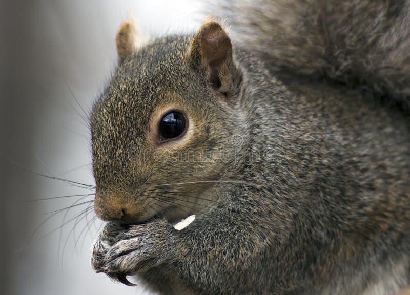 食用的灰鼠快餐 免版税库存照片