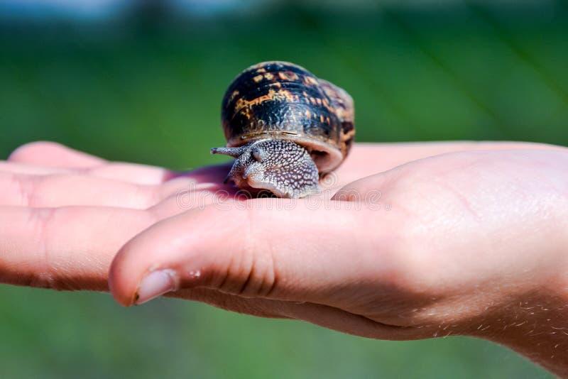 食用蜗牛escargot 库存照片
