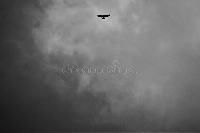 食肉动物的鸟飞行入从风暴的光 库存图片