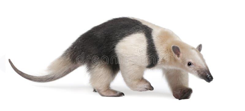 食蚁兽抓住衣领口tamandua tetradactyla 免版税图库摄影