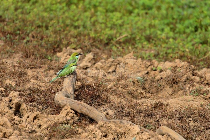 食蜂鸟或绿宝石spint在斯里兰卡 免版税库存图片