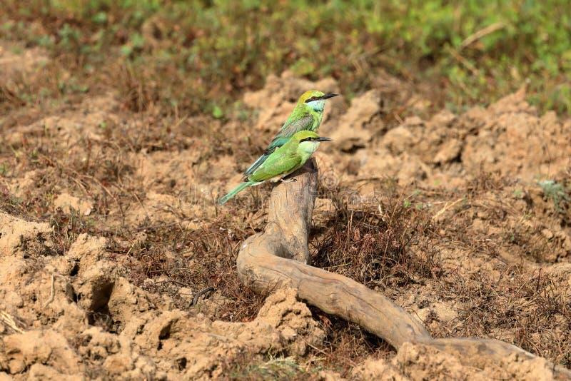 食蜂鸟或绿宝石spint在斯里兰卡 图库摄影
