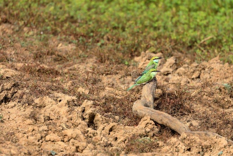 食蜂鸟或绿宝石spint在斯里兰卡 免版税库存照片