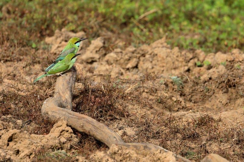 食蜂鸟或绿宝石spint在斯里兰卡 免版税图库摄影
