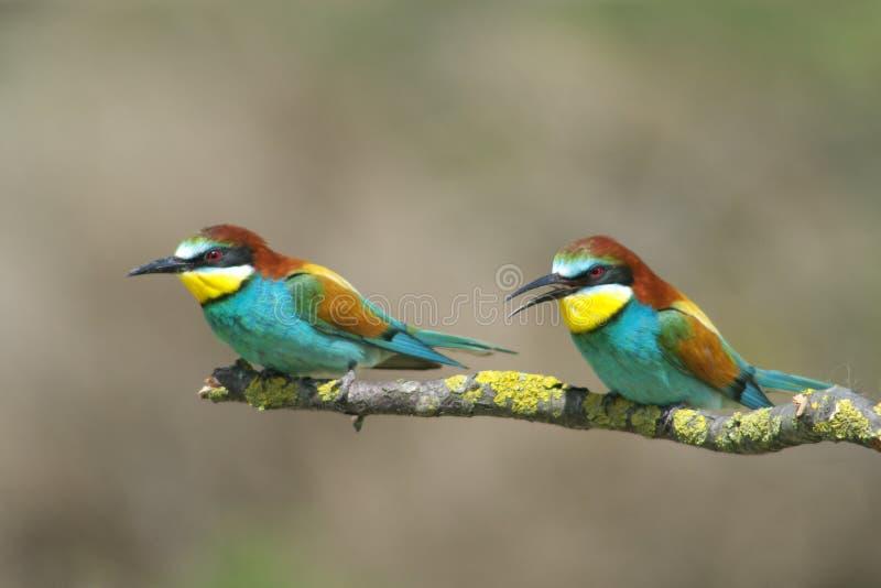 食蜂鸟欧洲 库存图片