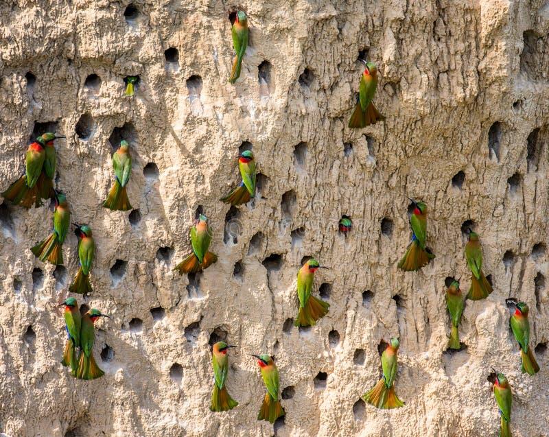食蜂鸟的大殖民地在他们的在黏土墙壁上的洞穴 闹事 乌干达 免版税库存照片
