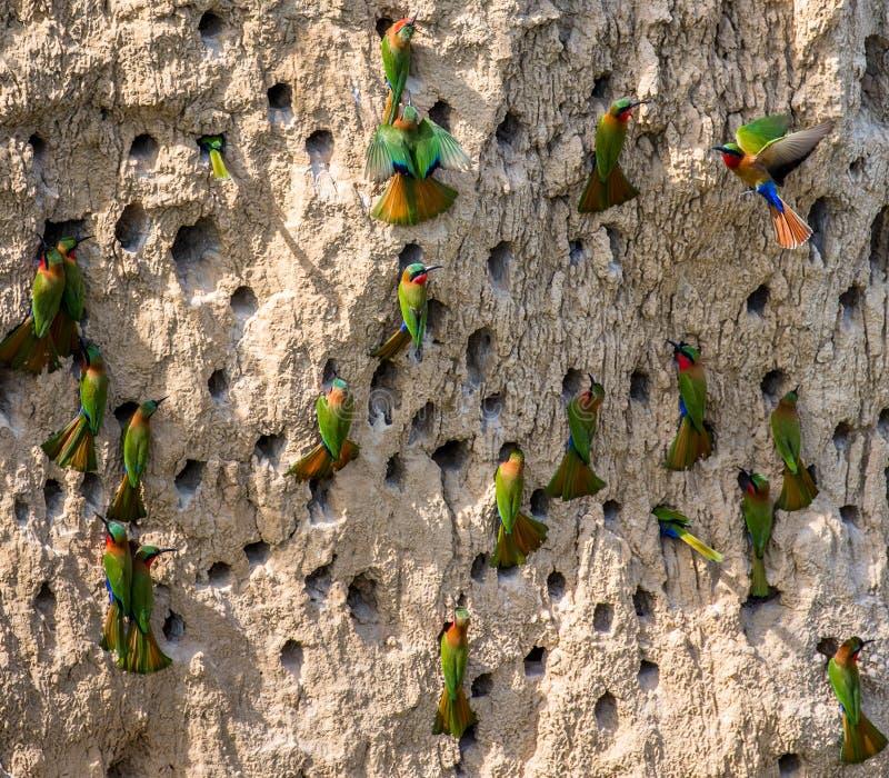 食蜂鸟的大殖民地在他们的在黏土墙壁上的洞穴 闹事 乌干达 库存图片