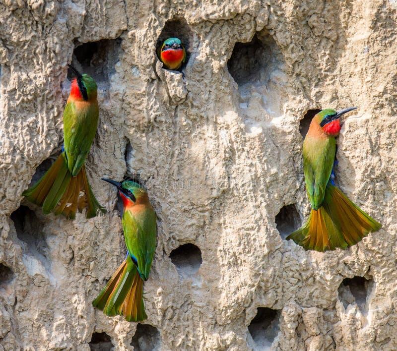 食蜂鸟的大殖民地在他们的在黏土墙壁上的洞穴 闹事 乌干达 库存照片