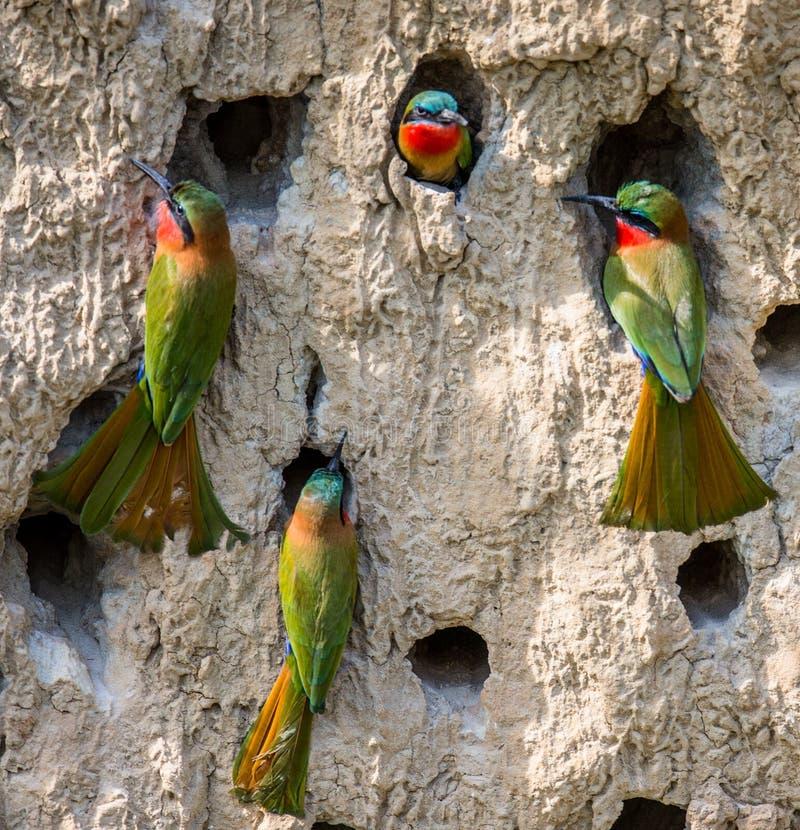 食蜂鸟的大殖民地在他们的在黏土墙壁上的洞穴 闹事 乌干达 免版税库存图片