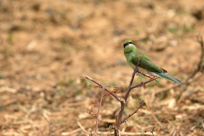 食蜂鸟鸟或绿宝石spint在斯里兰卡 库存照片