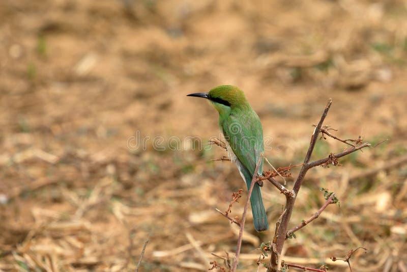 食蜂鸟鸟或绿宝石spint在斯里兰卡 图库摄影