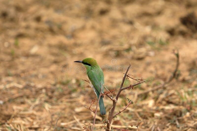 食蜂鸟鸟或绿宝石spint在斯里兰卡 免版税图库摄影