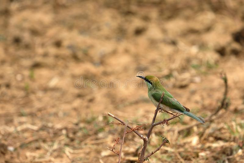 食蜂鸟鸟或绿宝石spint在斯里兰卡 免版税库存照片