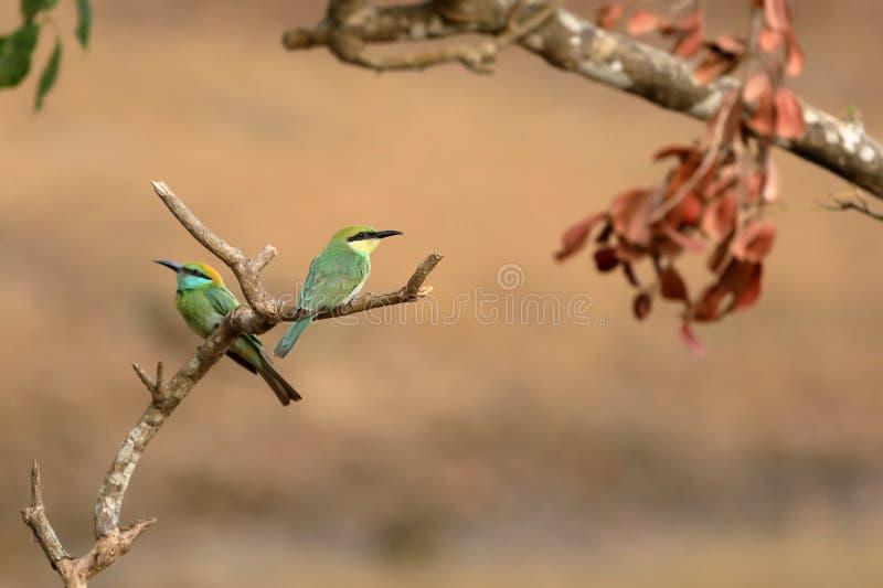 食蜂鸟鸟或绿宝石spint在斯里兰卡 库存图片