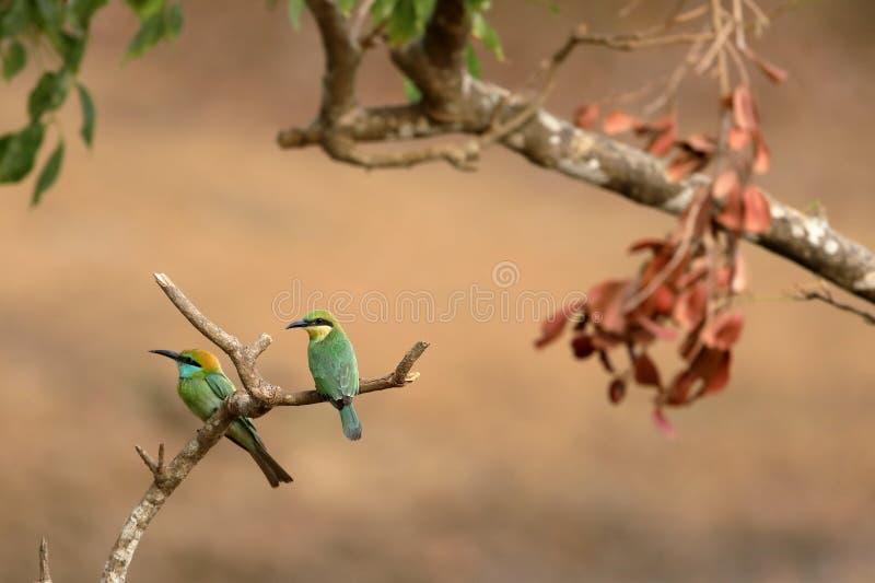 食蜂鸟鸟或绿宝石spint在斯里兰卡 免版税库存图片