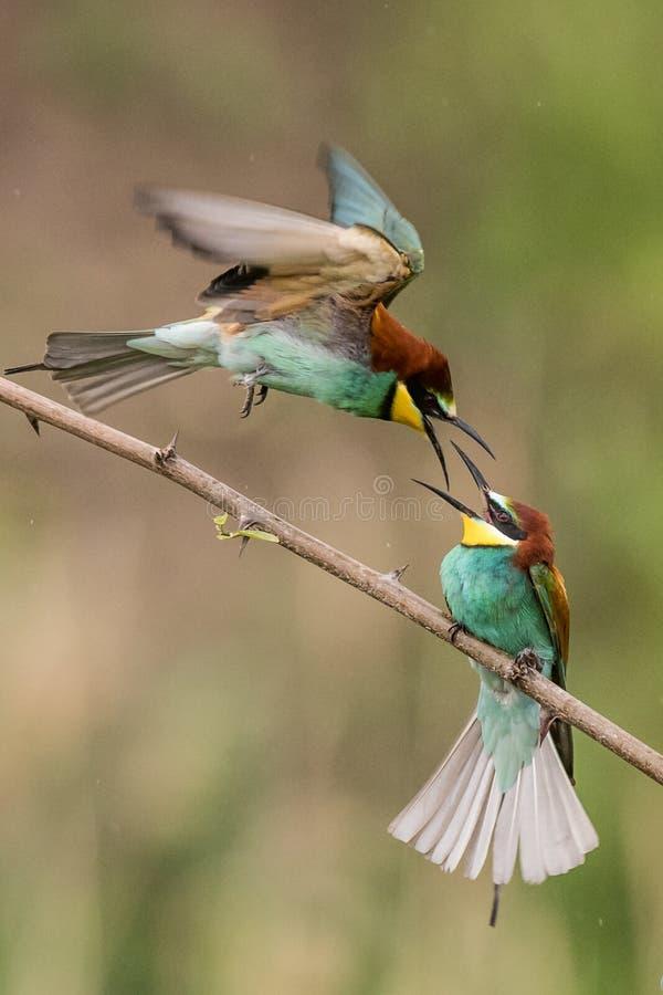 食蜂鸟,食蜂鸟属apiaster,坐分支 免版税库存照片