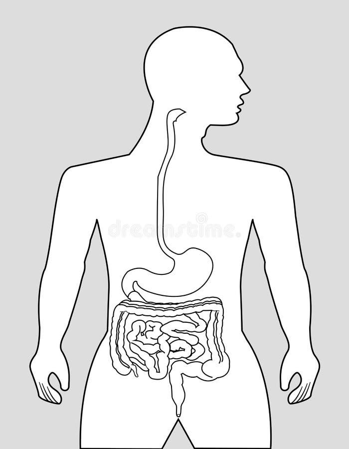 食道 向量例证