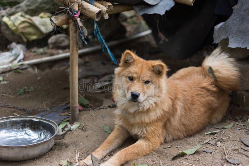 饥饿的中国农村狗 库存照片