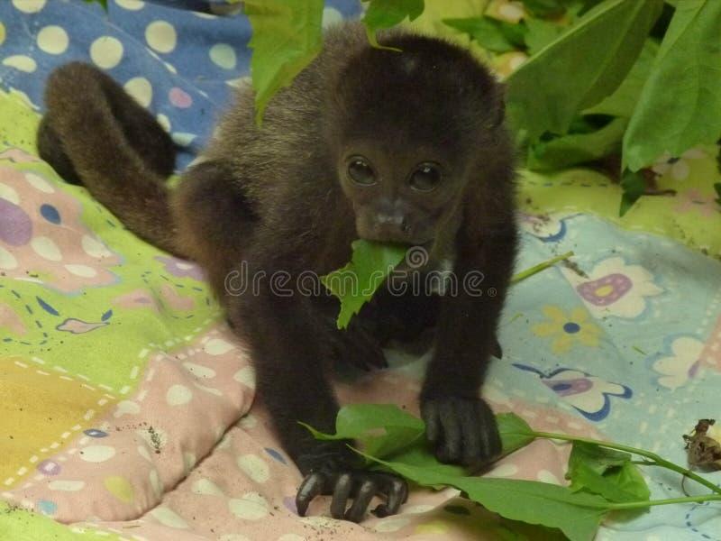 饥饿的吼猴婴孩 库存图片