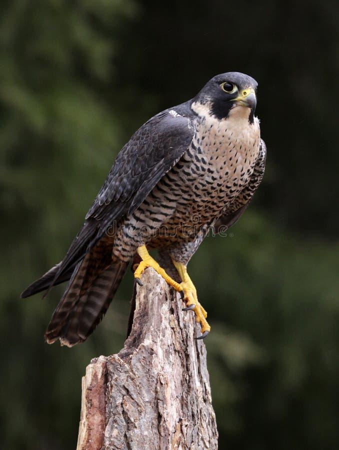 饥饿的旅游猎鹰