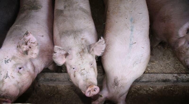 饥饿的桃红色色的巨大的猪母猪接近的照片  库存图片