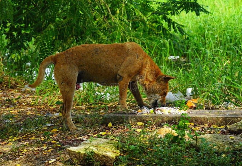 饥饿的流浪狗吃着 免版税图库摄影